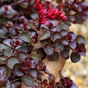 Sedum spurium 'Voodoo' in terracotta container