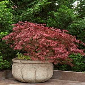 https://www.monrovia.com/plant-catalog/plants/29/emperor-i-japanese-maple/