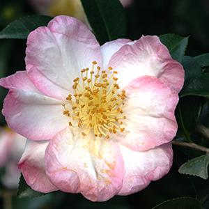 Apple Blossom Camellia 300x300