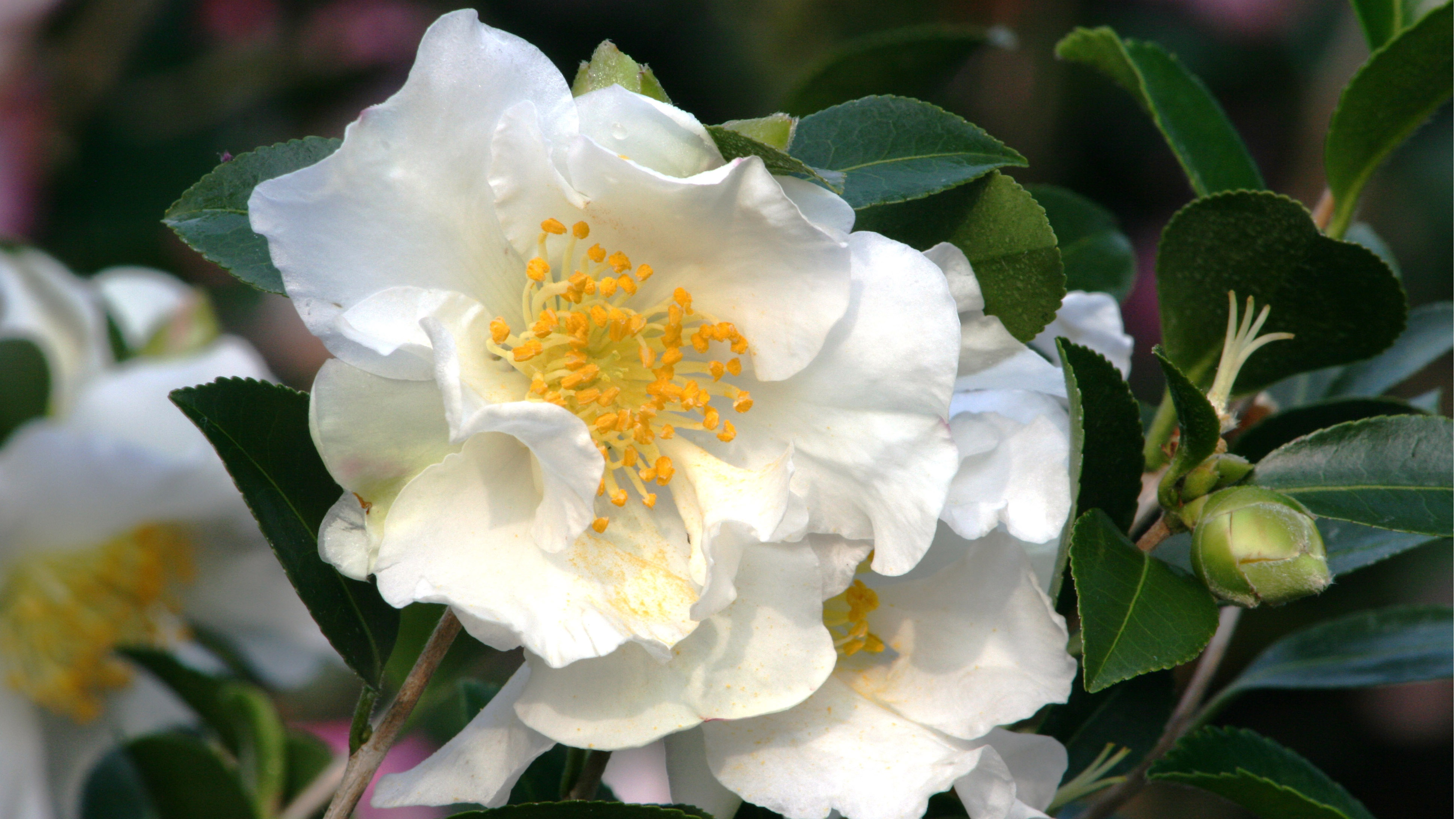 10 Early Blooming Camellias You Will Love Grow Beautifully
