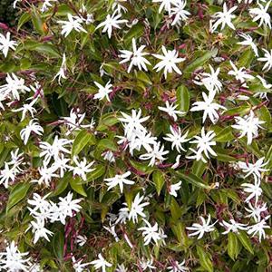 Angel-Wing Jasmine, Jasminum nitidum