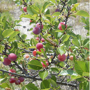 Prunus marítima (Beach Plum) Plant.