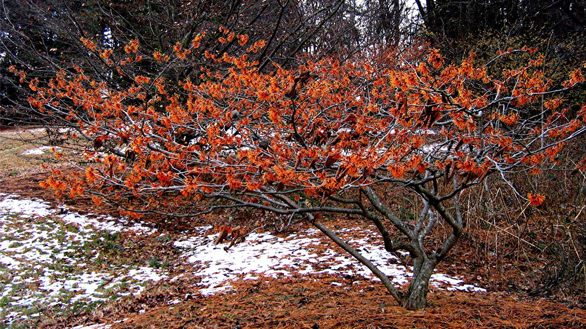 6 Shrubs That Look Great In January Z 3 7 Grow Beautifully