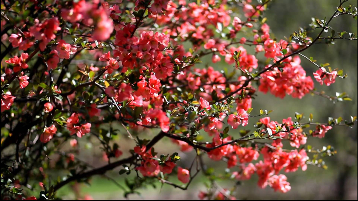 Flowering Quince For Early Spring Blooms Grow Beautifully
