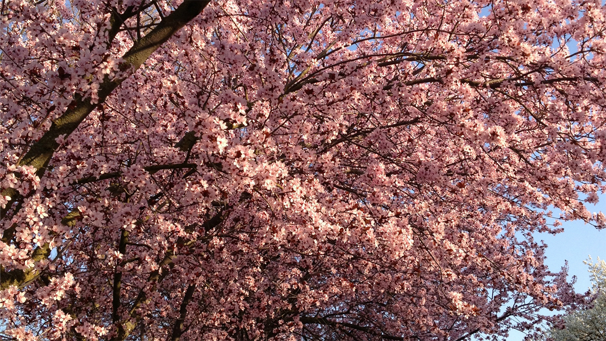 10 Spring Flowering Trees That Won T Take Over The Yard Grow