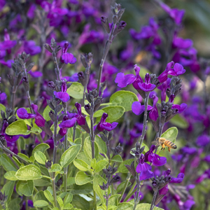 42069-vibe-ignition-purple-salvia-close-up_300