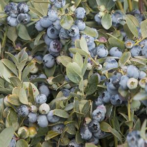 5623-bountiful-blue-blueberry-fruit_resize