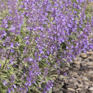 6228-walkers-low-catmint-close-up_300