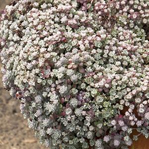 3428; Cape Blanco; container planting; Sedum; Sedum spathulifolium; Stonecrop; terra cotta pot; terracotta