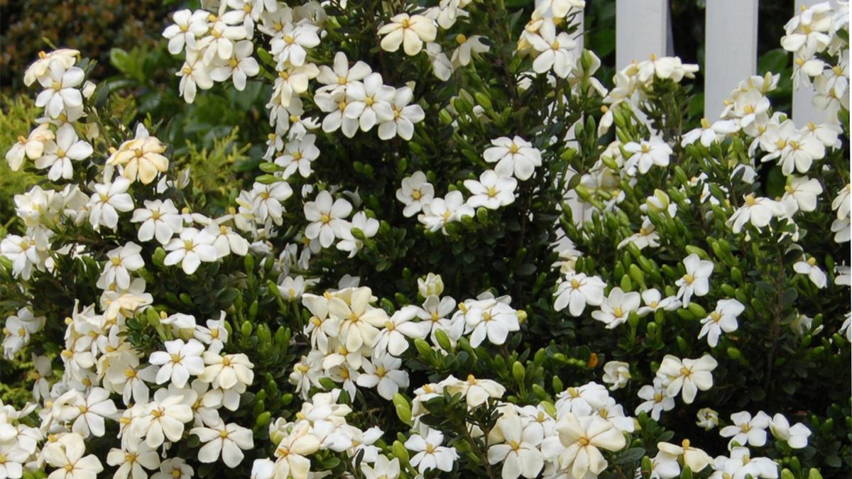 Gardenias For Colder Zones Grow Beautifully