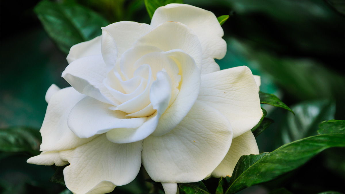 All About Grafted Gardenias Grow Beautifully