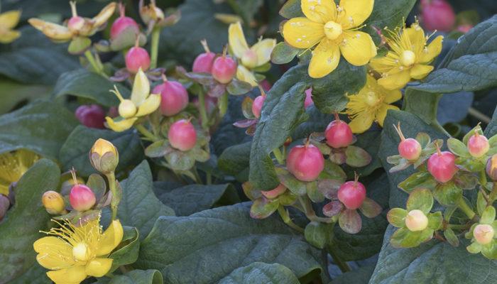 FloralBerry™ Rosé St-resize