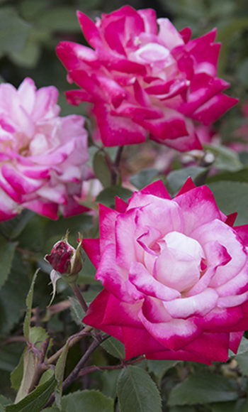 Grace N' Grit™ BiColor Rose