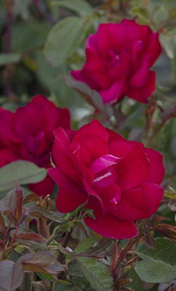Grace N' Grit™ Red Rose