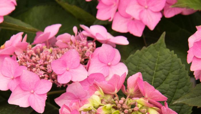 Seaside Serenade® Outer Banks Hydrangea