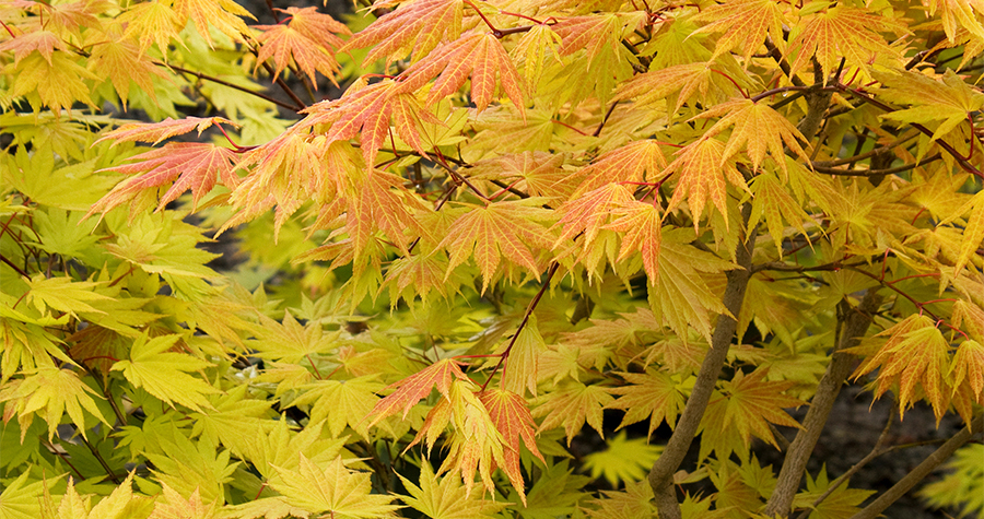 10 Facts Every Japanese Maple Lover Needs To Know Grow Beautifully