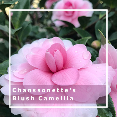 Chansonette Blush Camellia_400