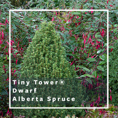 Dwarf Shrubs For Small Spaces Grow Beautifully