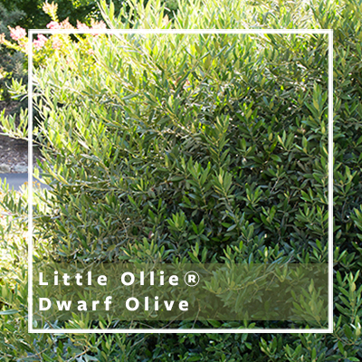 Little Ollie Dwarf Olive