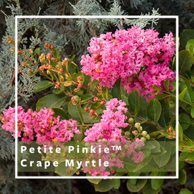 Petite Pinkie_400x400_b