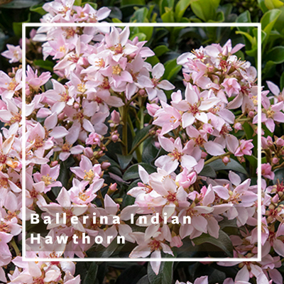 ballerina indian hawthorn_400