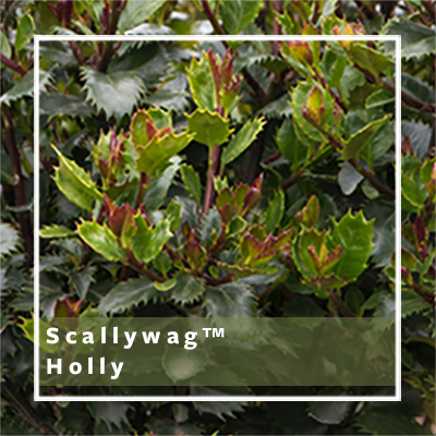 scallywag holly_400x400