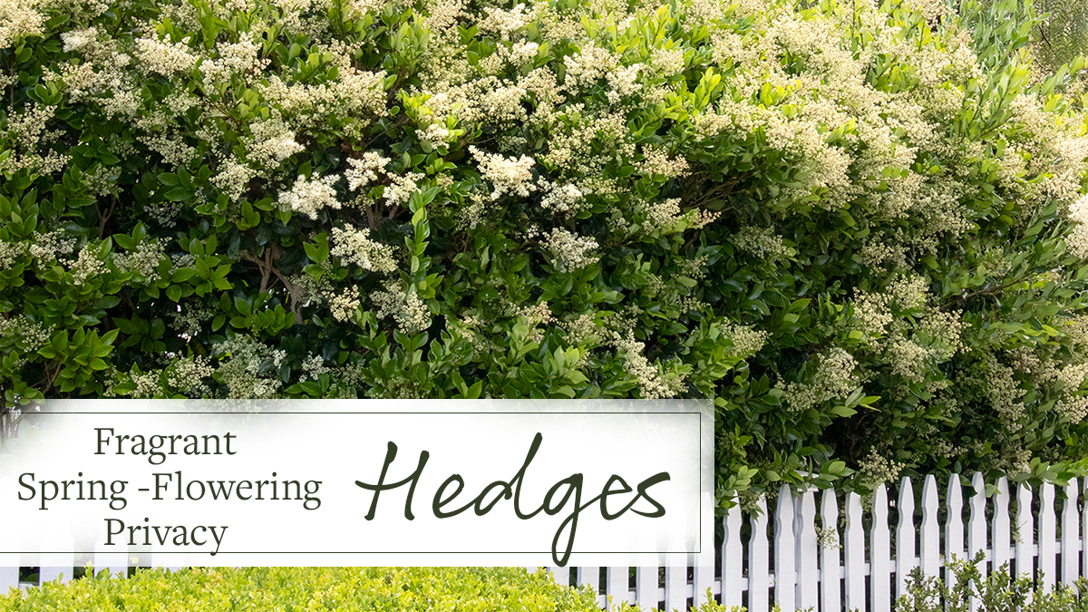 Fragrant Spring Flowering Privacy Hedges Grow Beautifully