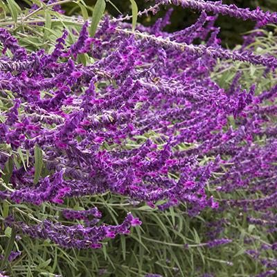 Santa Barbara Mexican Bush Sage 400x400