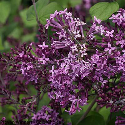 Bloomerang%C2%AE-Dark-Purple-Lilac-400x400