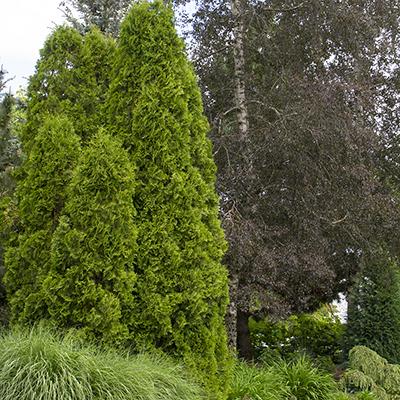 Degroots-Spire-Arborvitae-400x400