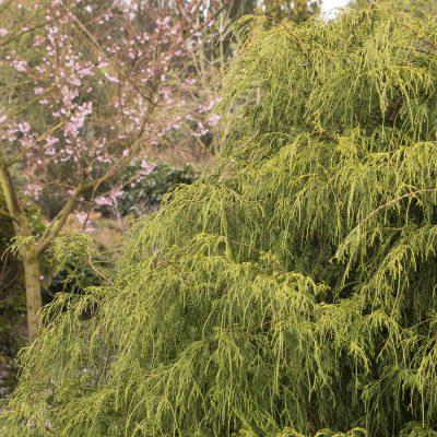 Golden-Charm-Thread-Branch-Cypress-400x400