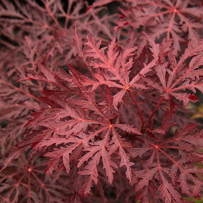 IMG_VelvetVikingJapaneseMaple_Body