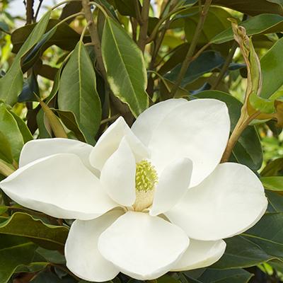 Timeless-Beauty%C2%AE-Evergreen-Magnolia-400x400