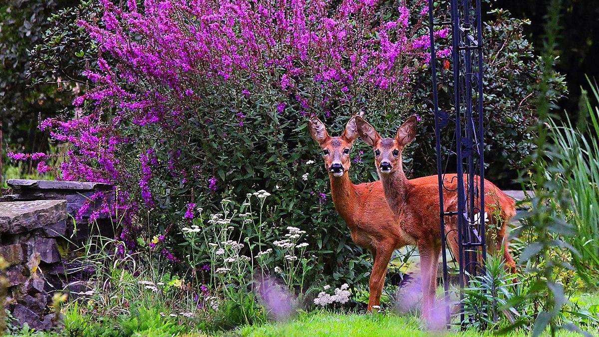 18 Beautiful Deer Resistant Shrubs Grow Beautifully