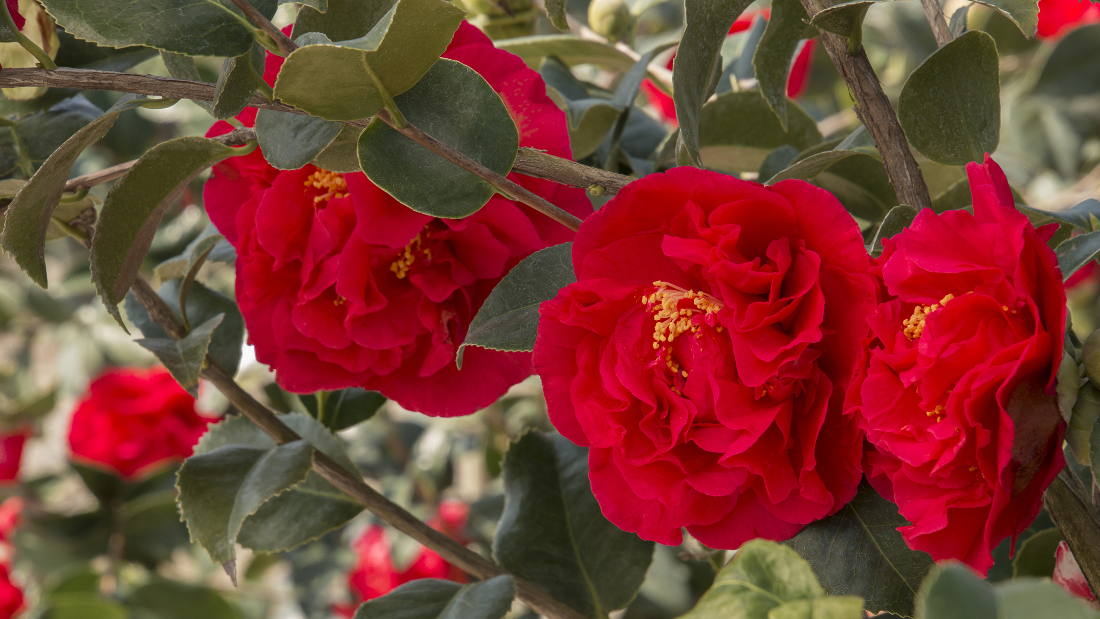 Late Blooming Camellias For A Winter Floral Fix Grow Beautifully