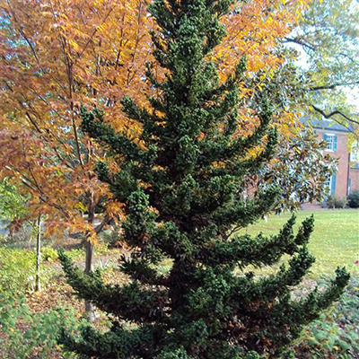 blackdragoncryptomeria