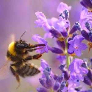 bumblebee400x400-150x150@2x