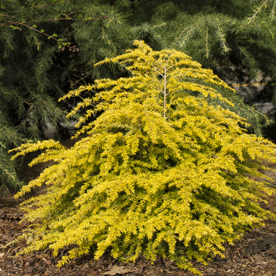 Golden Duchess Eastern Hemlock