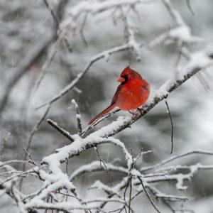 cardinal-150x150@2x