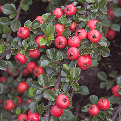 cranberry-cotoneaster-400x400