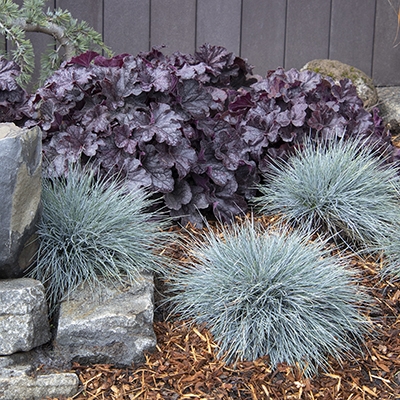 Elijah Blue Fescue with Grande Black Heuchera