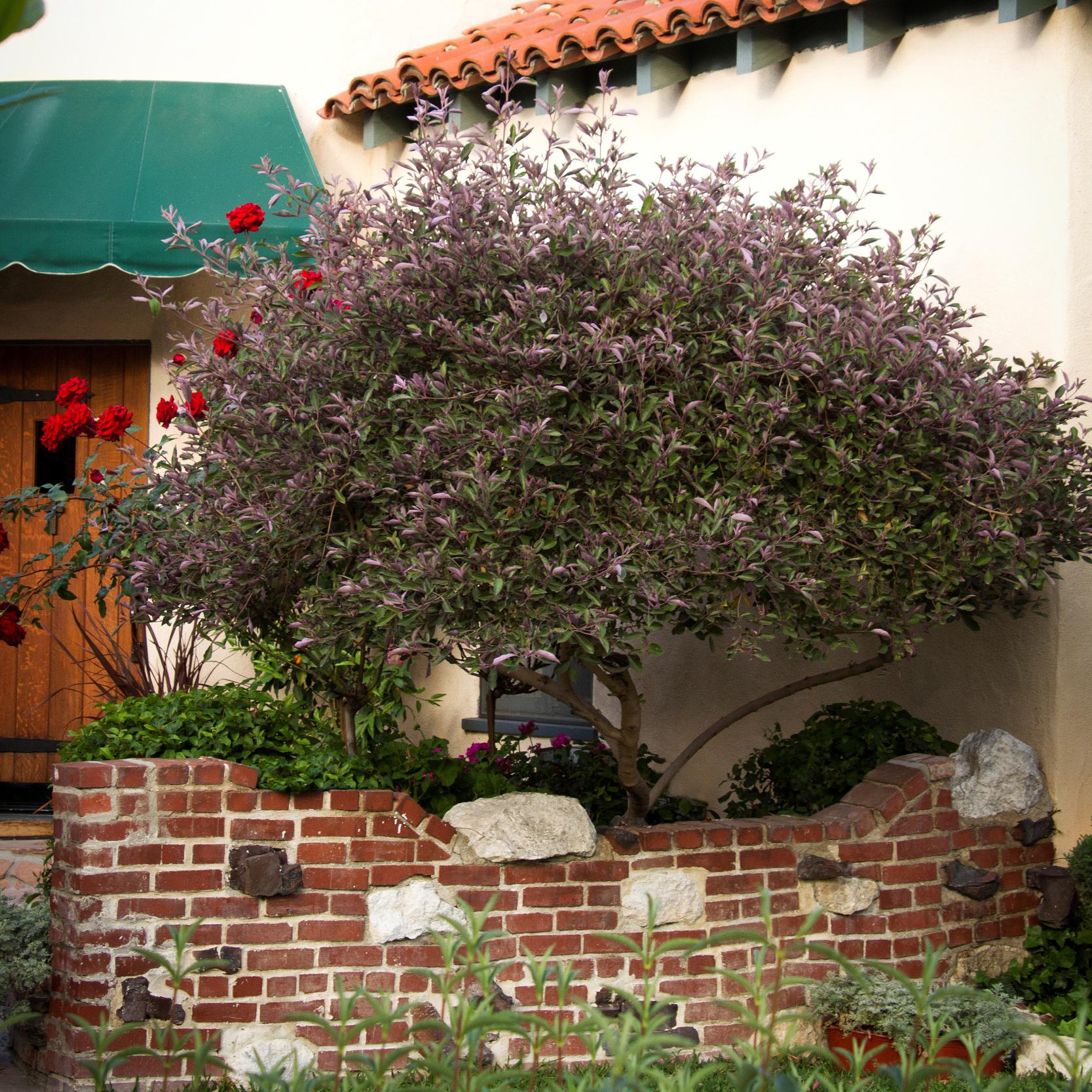 Arabian Lilac - Monrovia