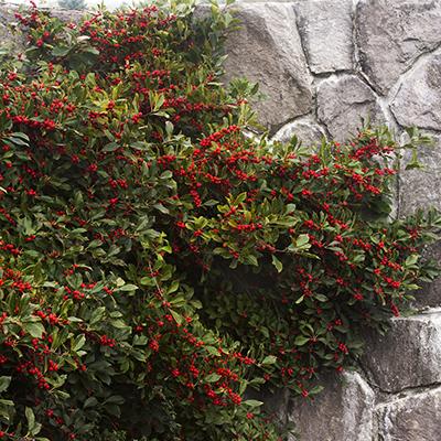 Red Sprite Winterberry