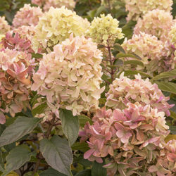 Hydrangea paniculata Strawberry Shake