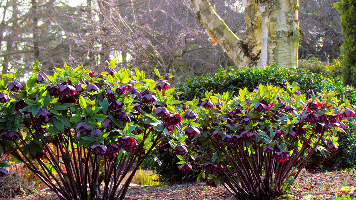Add Beauty To Your Garden With Hellebores Grow Beautifully
