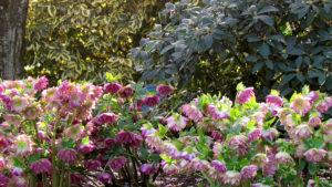 Hellebores in spring landscape