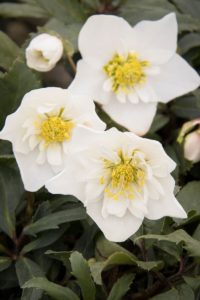 Helleborus Winter Dreams™ Double Fantasy