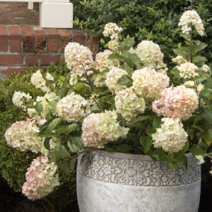 Strawberry Shake™ Hydrangea