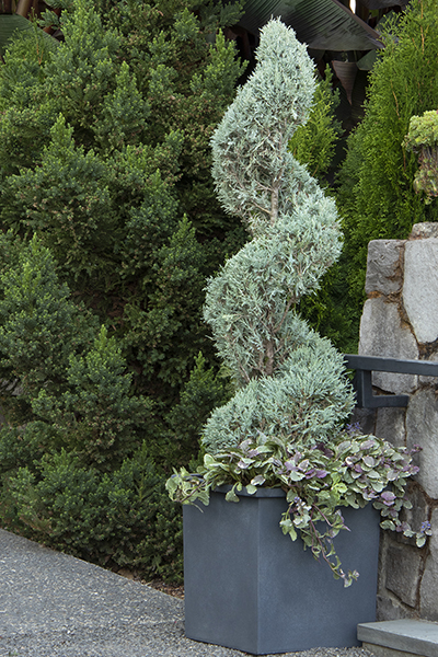 Juniperus-Medora_Monrovia