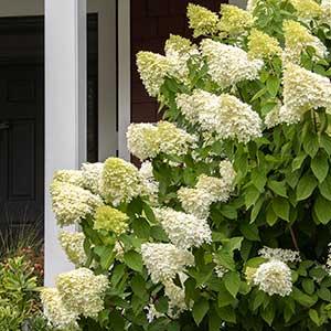 2437-Hydrangea-paniculata-Limelight_2120M_300x_sfw